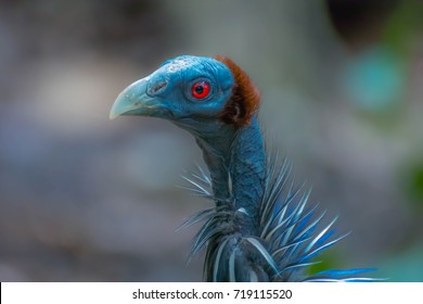hair style  Bald bird Vulture in Asia, Africa, Amazon, eagle, with dark red eyes.