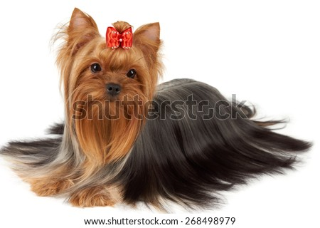 Hair This Purebred Yorkshire Terrier Groomed Stock Photo Edit Now