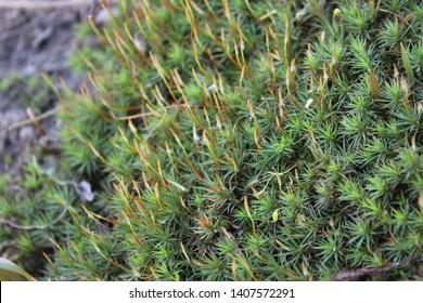Haircap Moss specimen sample growing in Ontario Canada