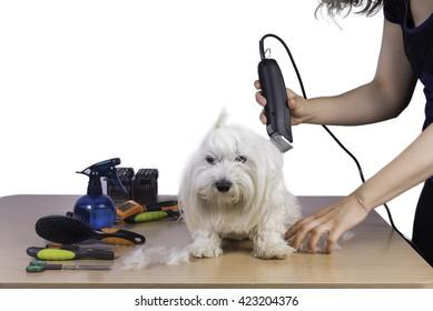 Haircut of maltese pet.