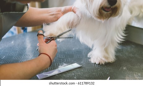 haircut scissors white dogs. Dog grooming in the grooming salon. Shallow focus