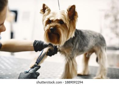Haarverfahren. Kleiner Hund sitzt auf dem Tisch. Hund mit einem Profi.