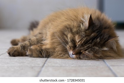 Haired cat lying in relax in a garden, siberian breed brown mackerel color