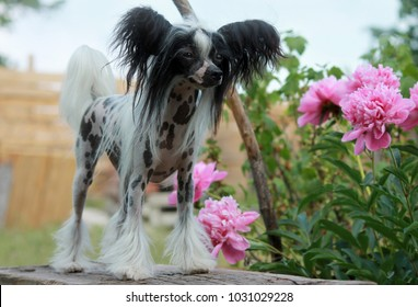 Hairless Chinese Crested dog and pink peonies