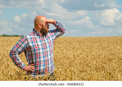 hairless farmer with beard standing and look around in the wheat field. Farmer or agronomist inspect quality of wheat, harvest time