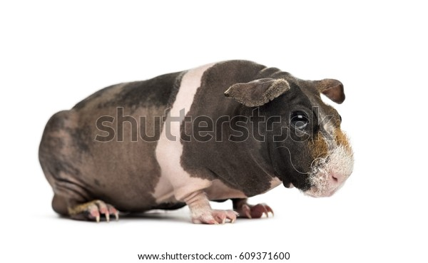 Hairless guinea pig , isolated on white