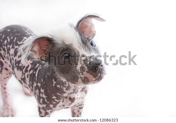 hairless mexican dog cropped above legs