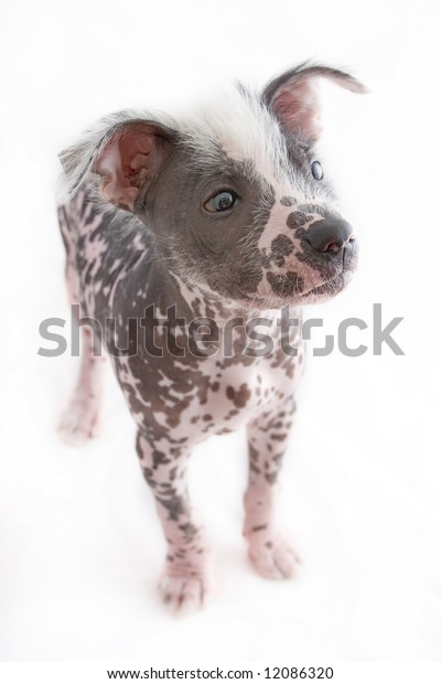 hairless mexican dog standing on four legs