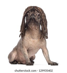 Hairless Mixed-breed dog, mix between a French bulldog and a Chinese crested dog, sitting and wearing a dreadlocks wig in front of white background