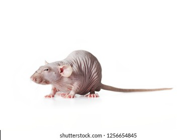 Hairless rat, side view isolated on white background.