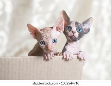 Hairless sphinx cats.