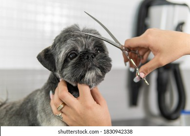 Hairstyle or haircut treatment with groomer scissors to a gorgeous Shih Tzu breed dog undergoing canine grooming treatment