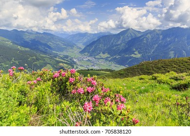 Hairy alpenrose (Rhododendron hirsutum) in front of the township of Bad Hofgastein in the austrian alps