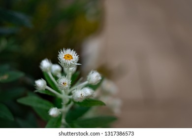Hairy Aster, Frost Aster, Hairy White Oldfield Aster or Wild Aster