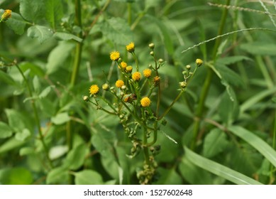 Hairy beggar ticks flowers /  Hairy beggar ticks are weeds on the roadside, with yellow head flowers in the fall. Achene adheres to animal hair and human clothing.
