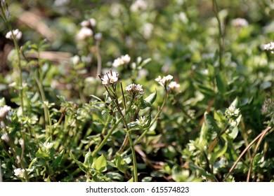"""Hairy bittercress - Cardamine hirsuta. It is called """"Michitanetsukebana"""" in Japan."""