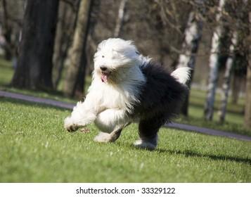 Hairy bobtail (old English sheepdog) running in park
