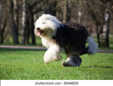Hairy bobtail running in park