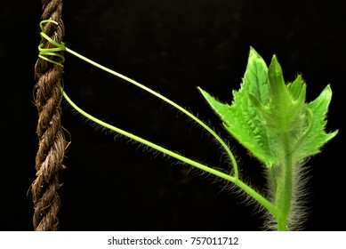 Hairy branch of a pumpkin plant holding onto a coir rope  with tendrils