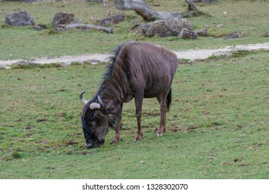 Hairy brown gnu eating grass