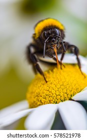 Hairy bumblebee and flower