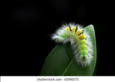 Hairy caterpillar moving on a green leaf with black background.
