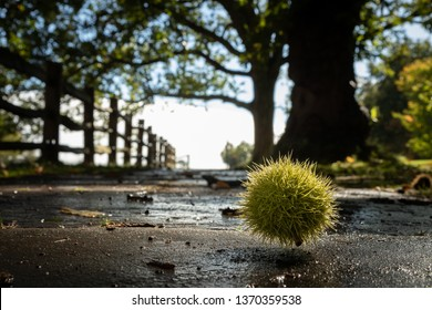 Hairy chestnut on a stone pavement with fence leading into distance. Low angle shot. Colorful, focused.