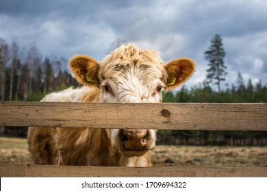 Hairy cow looking straight over the fence, cattle farm, Latvia.