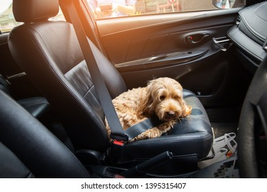 hairy dog in car. safety belt on Puppy dog. cockapoo is breeding mixed with american cocker spaniel and poodle. Small doggie. Decorative thoroughbred dog. on natural daylight.