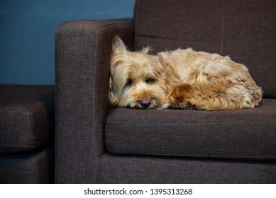 hairy dog on sofa.  Puppy dog sleeping on brown sofa waiting for family. cockapoo is breeding mixed with american cocker spaniel and poodle. Small doggie. Decorative thoroughbred dog.
