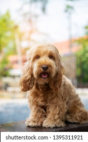 hairy dog. Puppy of the cockapoo is breeding mixed with american cocker spaniel and poodle. Small doggie. Decorative thoroughbred dog. on natural daylight.