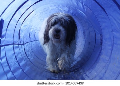 hairy dog is walking in a agility tunnell
