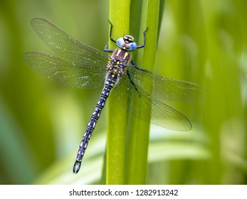 Hairy dragonfly (Brachytron pratense) resting on vegetation on vivid green background