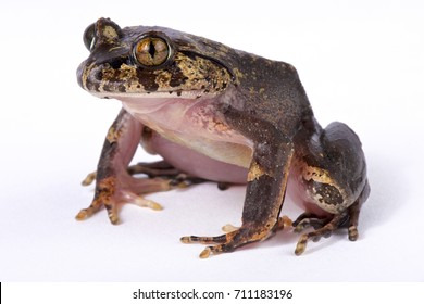 Hairy frog, Trichobatrachus robustus
