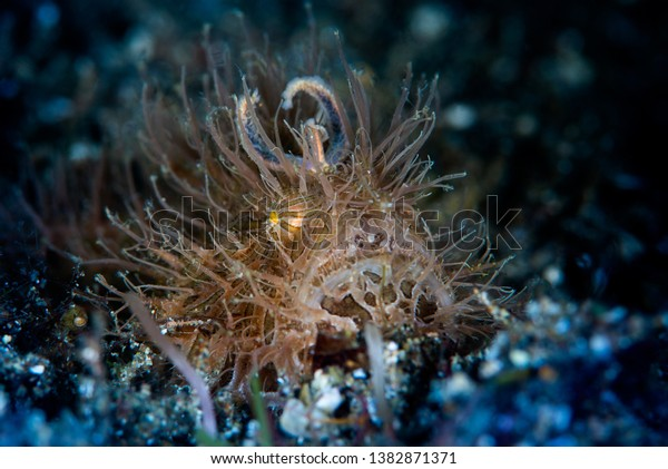 hairy frogfish stay on the sand in Anilao, Philippines. these spicies is hunting prey by use bait that grow out of the head. it's rare to found them because their texture