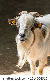 Hairy goat face in the farm
