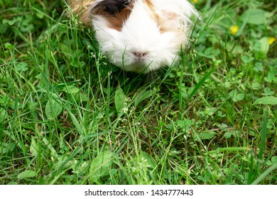 Hairy guinea pig on green fresh lawn