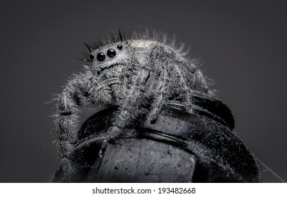 Hairy Jumping Spider indoors sitting on a metal nut