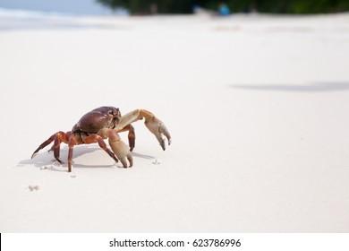 Hairy leg mountain crab on the beach at similan island