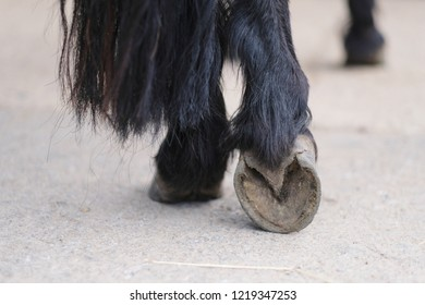 Hairy legs thoroughbred horse with a clean, ready for horseshoes hooves