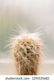 Hairy Lorax Cactus Close up