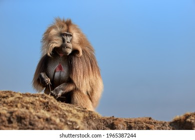 Hairy monkey Gelada Baboon - Theropithecus gelada isolated against blue sky. Beautiful, high mountaneos endemic primate, wild animal from unesco site Simien mountains. Traveling Ethiopia.
