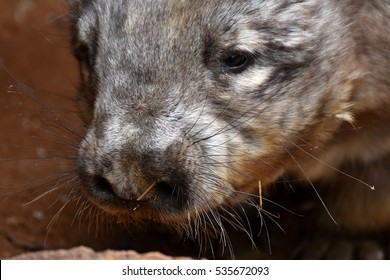 Hairy nose wombat