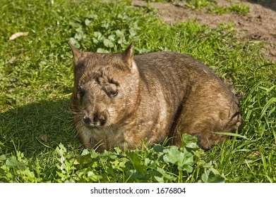 Hairy nosed Wombat on green grass
