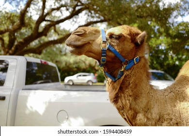 Hairy and nosy macro camel close-up in the streets of Miami, Florida