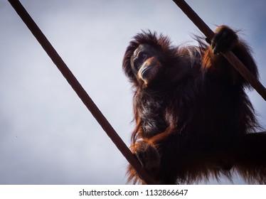 hairy orangutan from below