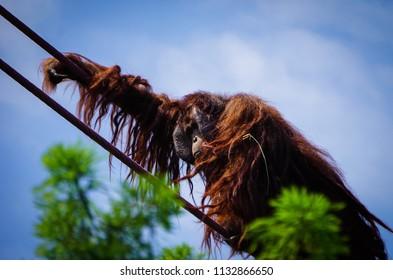 hairy orangutan climbing rope