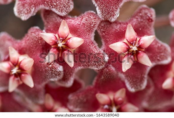 The hairy pentagonal petals with waxy five-pointed stars on top - and white stamens in centre - of the pink and red blooms of the Hoya plant. Wet with morning dew - beautiful floral macro.