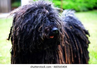 A hairy puli dog