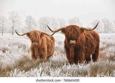 Hairy Scottish highlanders in a natural winter landscape of a national park in Drenthe region of The Netherlands
